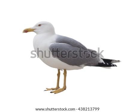 albatross bird isolated on white background - stock photo