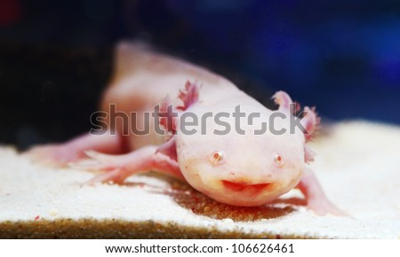 albefaction American Axoloto salamander newt - stock photo