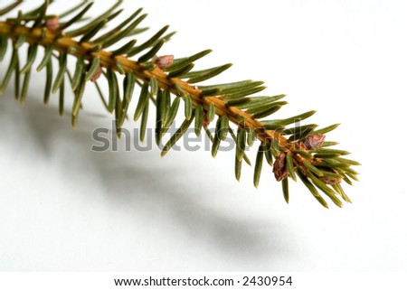 Alberta Spruce branch - stock photo