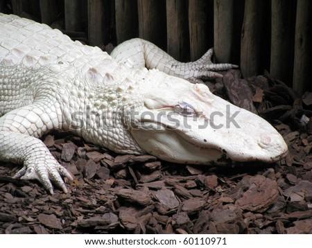 Albino Alligator - Alligator Farm St. Augustine Florida - stock photo