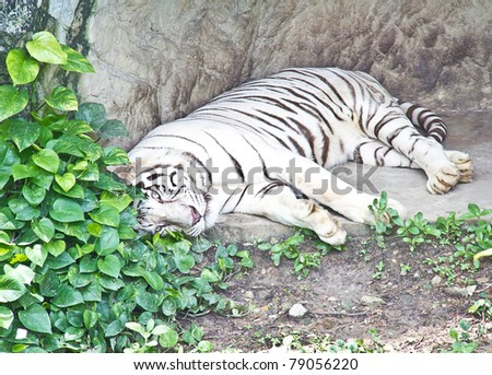 albino, animal, asia, beautiful, big, carnivore, cat, creature, - stock photo