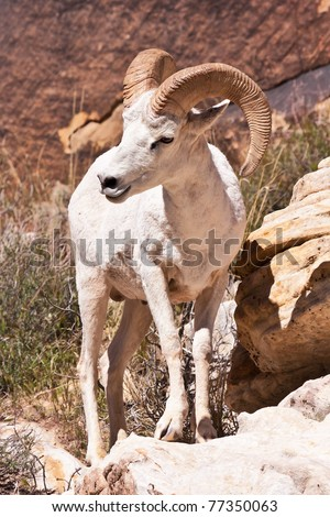 Albino Bighorn Ram Sheep in Red Rock Canyon Nevada - stock photo