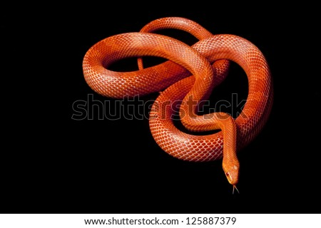Albino blood red corn snake (Elaphe guttata guttata) isolated on black background. - stock photo