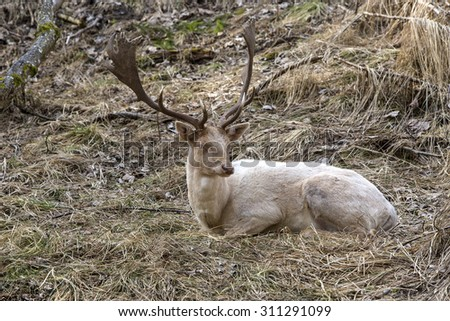 Albino buck deer sits in the forest - stock photo