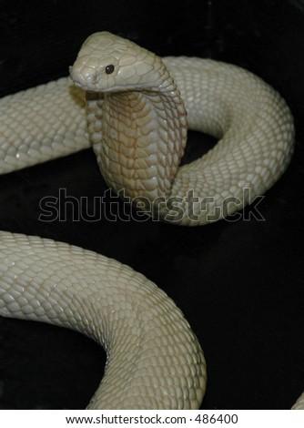 Albino Cobra - stock photo