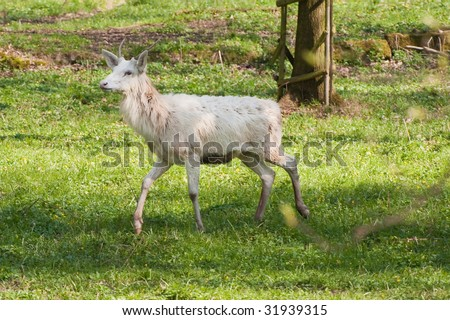 albino deer in the springtime