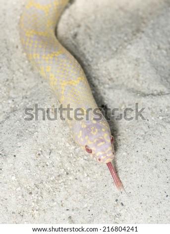 Albino Desert King Snake (getula splendida) - stock photo