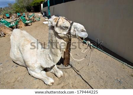 albino dromedary camel sitting down - stock photo