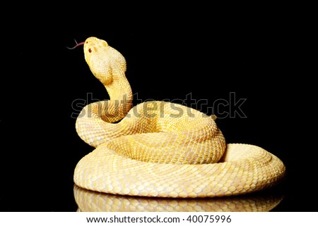 Albino Eastern diamondback rattlesnake (Crotalus adamanteus) isolated on black background - stock photo