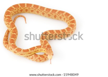 Albino Gopher Snake (Pituophis catenifer)