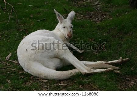albino kangaroo - stock photo
