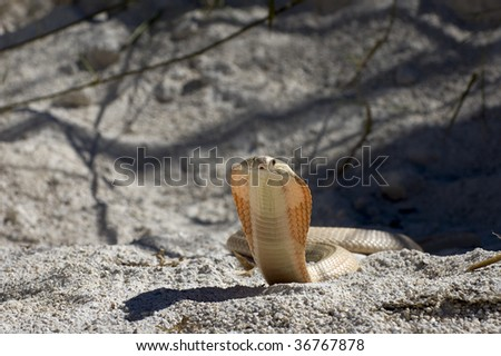 Albino Monocle Cobra - stock photo