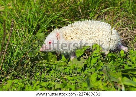 Albino northern white-breasted hedgehog (Erinaceus roumanicus) in the grass