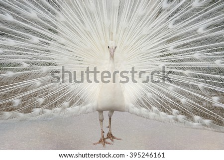 Albino Peacock With Tail Feathers on Display - stock photo