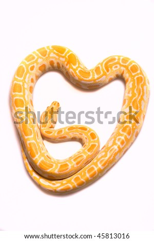albino python in the form of heart on a white background - stock photo