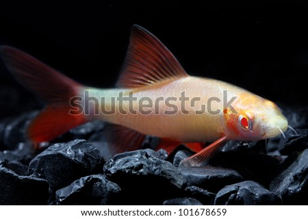 Red tail shark stock images royalty free images vectors for Red tail shark fish