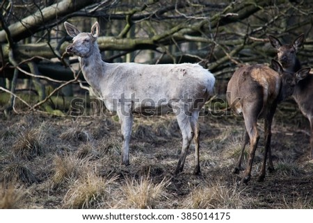 Albino sika deer (Cervus nippon) in The Deer Park, Denmark