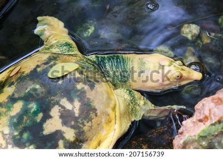 Albino snapping turtle. - stock photo