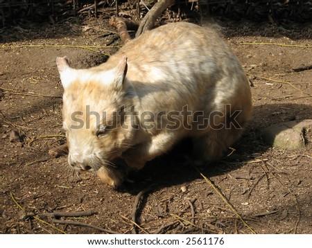 Albino wombat - photo#22