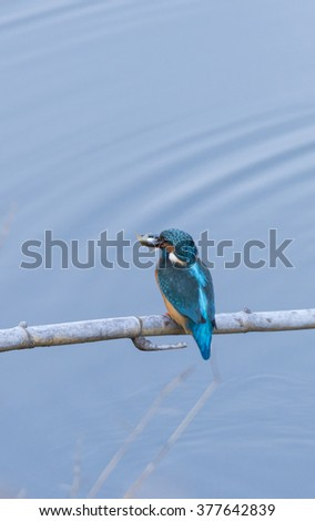 alcedo atthis, kingfisher, with his prey in the mouth - stock photo