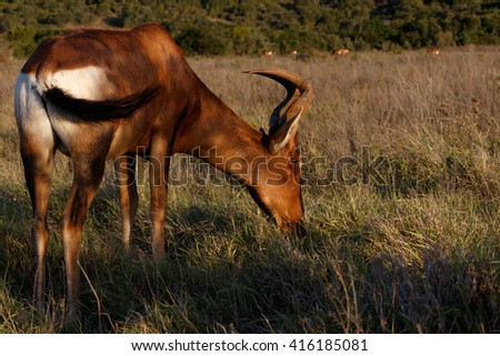 Alcelaphus buselaphus caama - The red hartebeest is a species of even-toed ungulate in the family Bovidae found in Southern Africa.