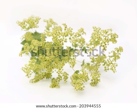 Alchemilla Vulgaris - Ladies Mantle Herb - stock photo