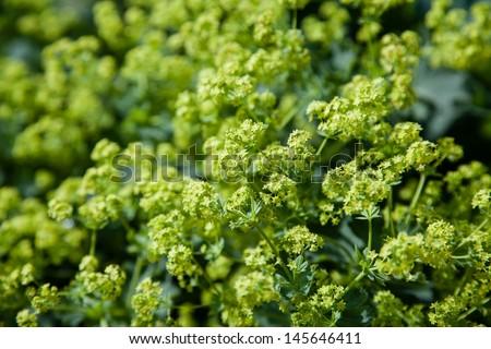Alchemilla Xantochlora - stock photo