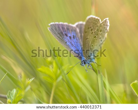 Alcon blue butterfly (Phengaris alcon) resting in grassy vegetation. It can be seen flying in mid to late summer. Like some other species of Lycaenidae, its larva (caterpillar) stage depends on ants. - stock photo