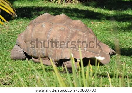 Aldabra Giant Tortoise (Geochelone gigantea) - stock photo