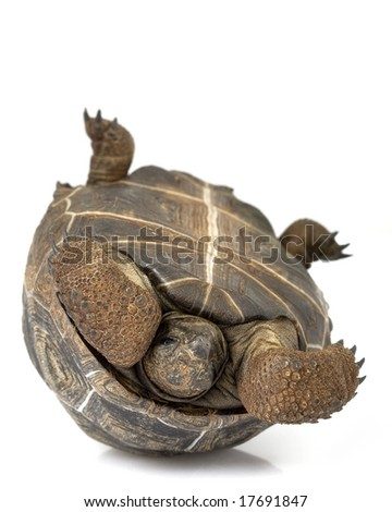 Aldabra Giant Tortoise (Geochelone gigantea) on white background. - stock photo