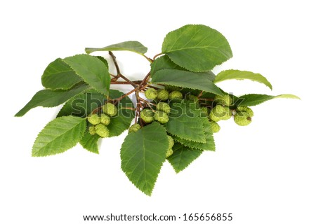 Alder branch with green female catkins on white background