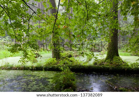 Alder-carr deciduous stand in heavy rain with water and hanging branches in foreground - stock photo