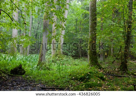 Alder-carr deciduous stand in rain with marsh and water-flag in foreground,Bialowieza Forest,Poland,Europe