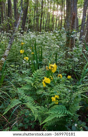 Alder Carr with Yellow Flag flowers - stock photo