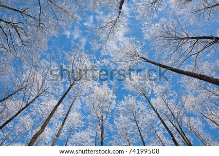 Alder tree crowns snow wrapped against blue sky with some light clouds - stock photo
