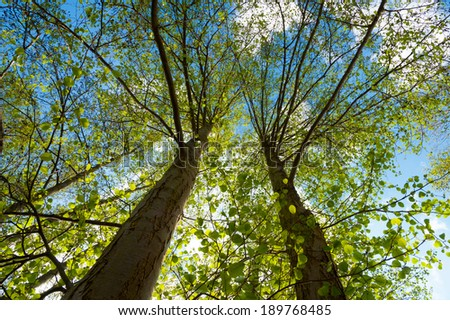 Alder trees in the wetlands near Wesenberg,  Mecklenburg, Germany against the blue sky, seen from the ground - stock photo