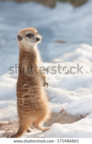 Alert adult meerkat or suricate, a small mongoose originating in South Africa, standing upright on its hind legs standing sentry duty for the colony in snow - stock photo