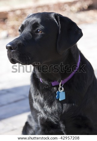 Alert black labrador retriever waits for a command. - stock photo