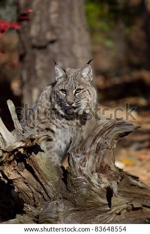 Alert Bobcat - stock photo