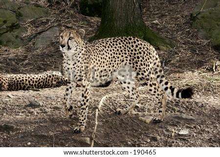 Alert Cheetah - stock photo