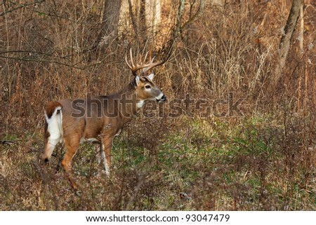 alert deer/buck prepares to run into the forest. cool autumn day, barren trees, bushes and fallen leaves make a natural background. profile of deer displays his massive antlers.