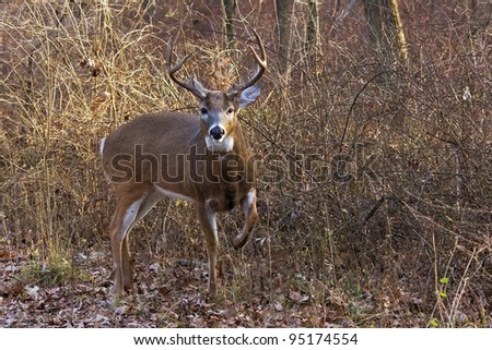 alert deer/buck raises its front leg to warn off intruder. Background is in the middle of the forest, cool autumn day, barren trees, bushes and fallen leaves make a natural background. - stock photo