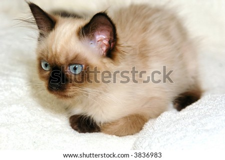 Alert kitten getting ready to pounce on the enemy - stock photo