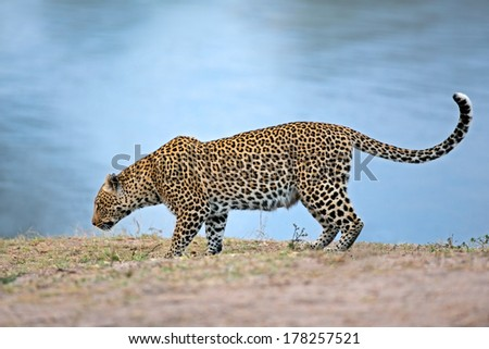 Alert leopard (Panthera pardus) at a waterhole, South Africa - stock photo