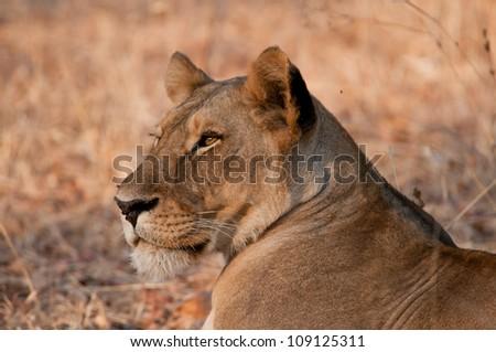 Alert Lioness taking a break, Ruaha National Park, Tanzania. - stock photo