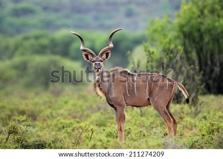 Alert male kudu antelope (Tragelaphus strepsiceros) in natural habitat, South Africa - stock photo