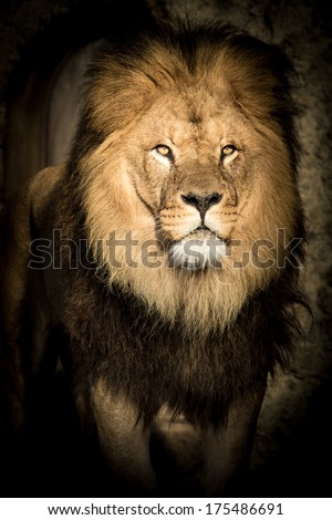 Alert male lion with a full mane staring balefully at the camera out of the darkness as if to say - I am watching you - stock photo