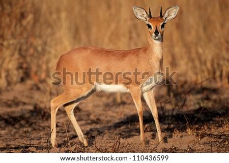 Alert male steenbok antelope (Raphicerus campestris), South Africa - stock photo