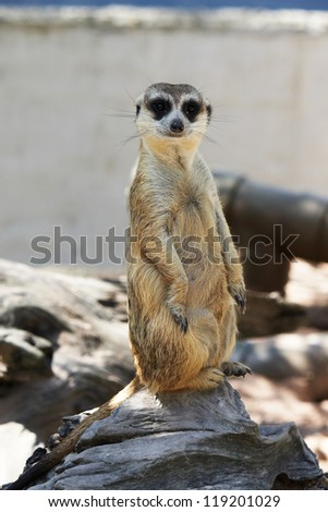 Alert meerkat sitting upright on its hind legs - stock photo