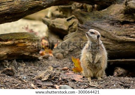Alert Meerkat (Suricata suricatta) listen to ambient sound in Semi-arid plain. - stock photo